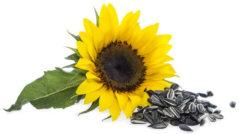 sunflower-with-seeds خواص دانه آفتابگردان